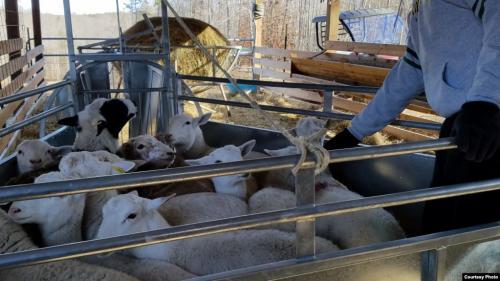 Hewan kurban di peternakan Abdus-Sabur di Amerika Serikat. (Foto: Istimewa/VOA)