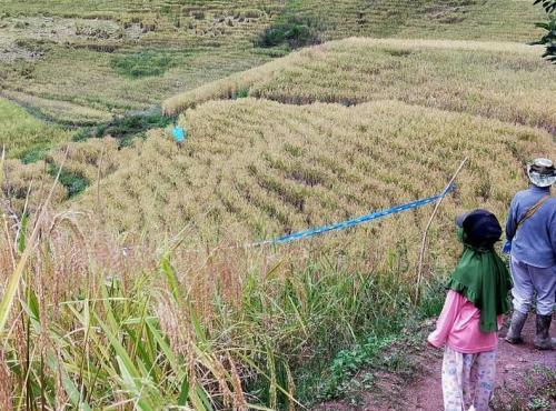 Tempat penanaman beras pulu mandoti