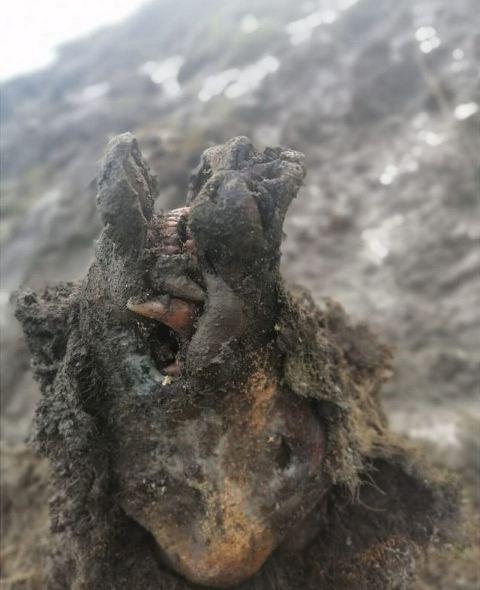 Bangkai beruang purba. (Foto: North Eastern Federal University)
