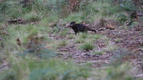 Tasmanian Devil. (Foto: Aussie Ark/Fox News)