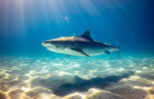 Ikan hiu. (Foto: Gerald Schombs/Unsplash)