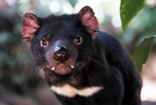 Tasmanian Devil. (Foto: David Clode/Unsplash)