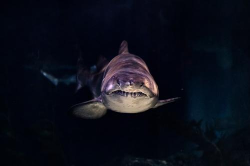 Ilustrasi ikan hiu. (Foto: Wai Siew/Unsplash)