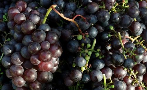 Anggur (Foto: Bustle)