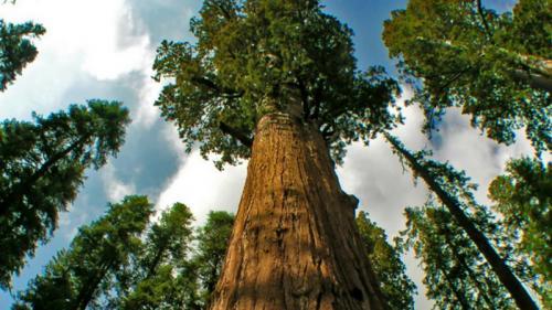 Tahukah Anda pohon tertinggi di dunia memiliki tinggi lebih dari 100 meter.