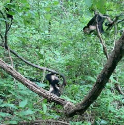 Sekelompok monyet capuchin menyelamatkan temannya dari serangan ular boa besar. (Foto: Sophie Lieber/IFL Science)