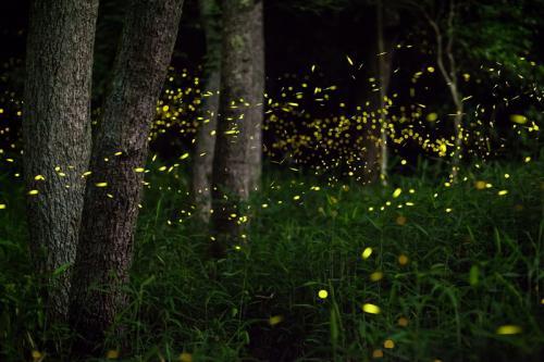 Kunang-kunang terlihat mengeluarkan cahaya ketika di kegelapan atau malam hari.