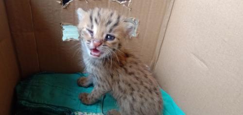 3 anak kucing ditemukan warga Cirebon saat memanen padi (Foto : Okezone.com/Fathnur)