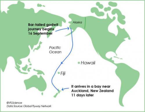 Peta terbang Burung Godwit Ekor Belang dari Alaska ke Selandia Baru. (Foto: IFL Science)