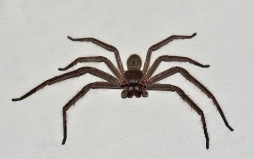 Pengguna Instagram membagikan kisahnya setelah menemukan laba-laba Huntsman raksasa bersembunyi di dalam headphone.