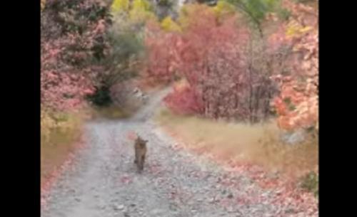 cougar menguntit