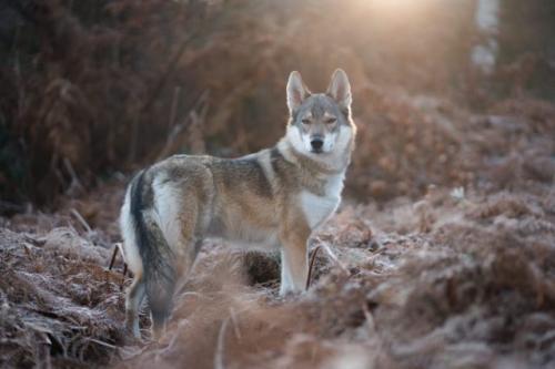 Serigala. (Foto: Tahoe/Unsplash)