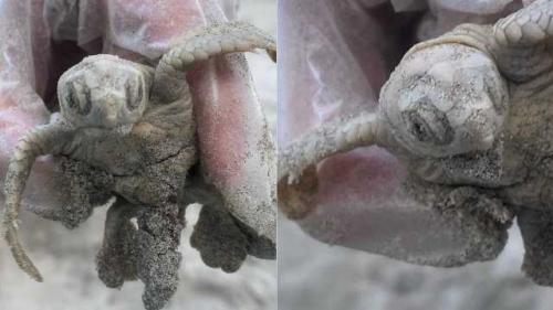 Penyu putih langka ditemukan menetas di tepi Pantai Pulau Kiawah, Carolina Selatan, Amerika Serikat. (Foto: Facebook Town of Kiawah Island/Fox News)