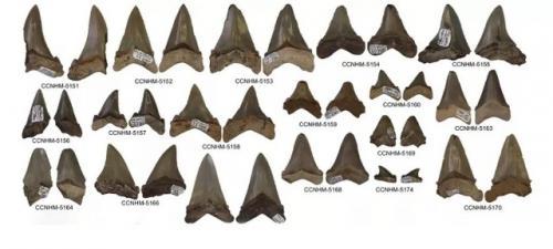 Fosil gigi hiu megalodon. (Foto: Addison Miller/Science Alert)