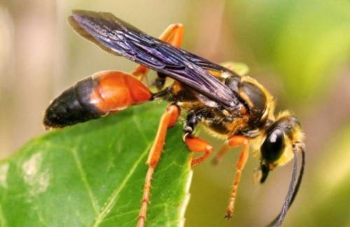 Lebah Raksasa Asia atau Asian Giant Hornet. (Foto: Twitter @WAinvasives)