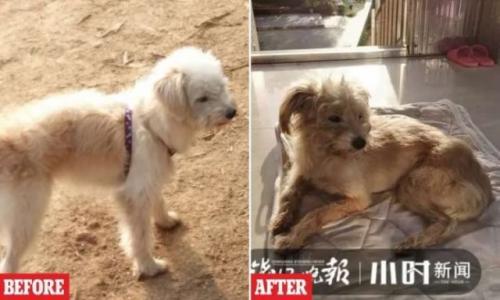 Anjing Dou-Dou pulang setelah sebulan hilang. (Foto: Oddity Central)