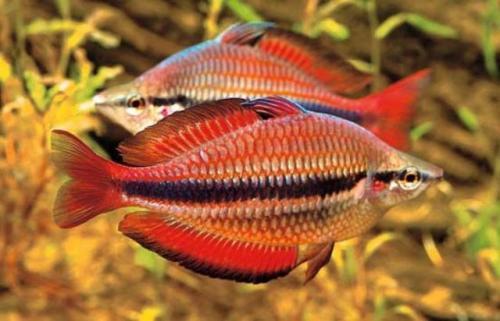 Rainbow fish. (Foto: Aquarium Info)
