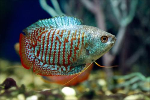 Ikan dwarft gourami. (Foto: Aquarium Info)
