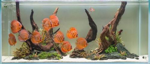 Ikan discus. (Foto: Aquarium Info)