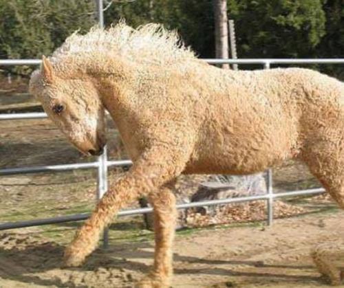 Kuda Curky (Foto: odditycentral)