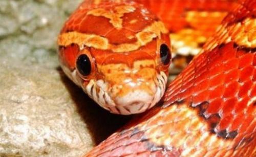 ular jagung