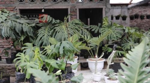 tanaman
