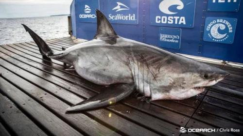 Ikan hiu putih raksasa Nukumi. (Foto: Chris Ross OCEARCH)