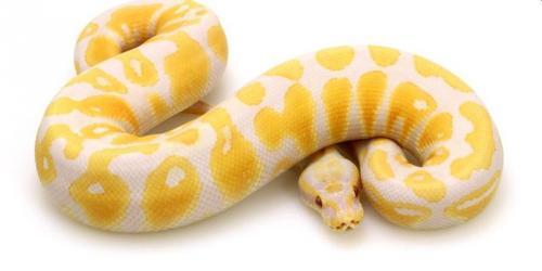 Ular Lavender Albino Ball Pyhton