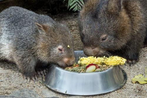 Wombat. (Foto: David Clode/Unsplash)