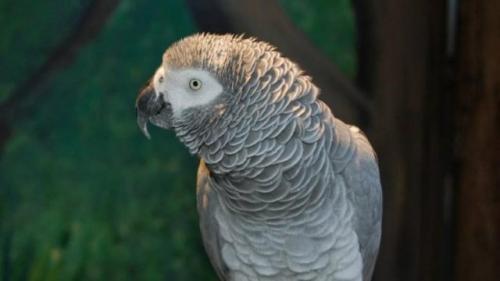 Burung kakatua Einstein. (Foto: Unbelievable-Facts)