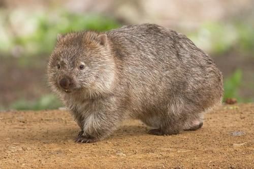 Wombat. (Foto: Wikipedia)