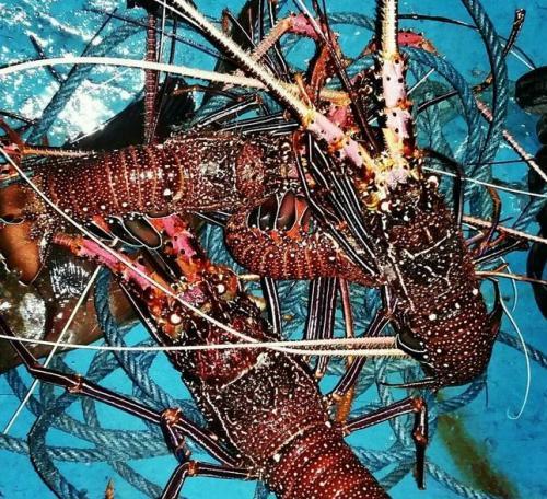 benur jadi lobster