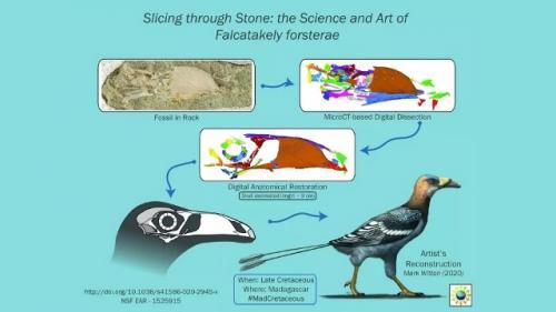 Penemuan fosil burung purba aneh berusia 68 juta tahun bernama Falcatakely Forsterae. (Foto: Mark Witton/Live Science)