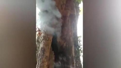 Viral pohon besar di Bandung terbakar sendiri meski diguyur hujan. (Foto: Ervan David/iNews)