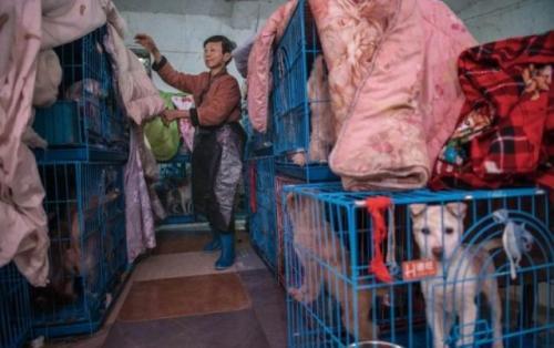 Wen Junhong dijuluki kesatria hewan karena rela menampung banyak anjing hingga kuda. (Foto: Oddity Central)