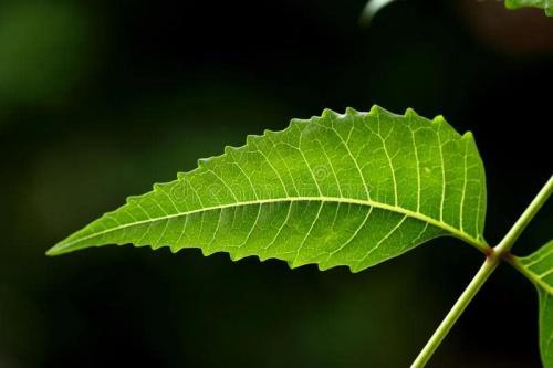 Rempah-rempah daun mimba untuk meningkatkan imunitas tubuh selama PPKM Darurat.
