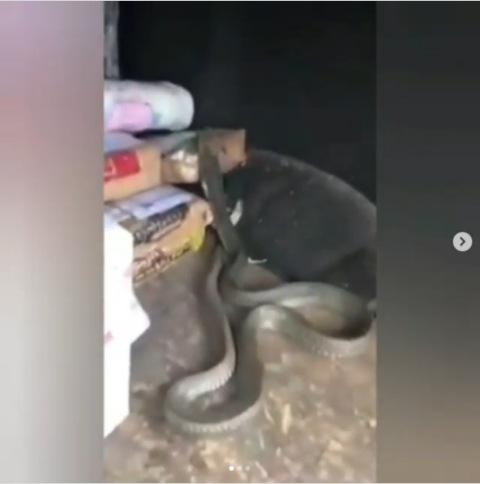 Ular king cobra besar lepas. (Foto: Instagram @lambe_turah)