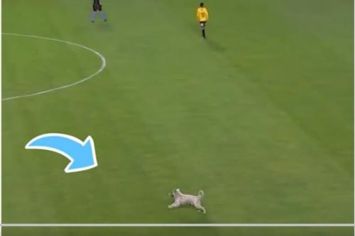 Anjing liar masuk ke lapangan sepakbola di Bolivia. (Foto: Twitter @apexworldnews)