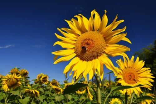 Bunga matahari. (Foto: Montypeter/Freepik)