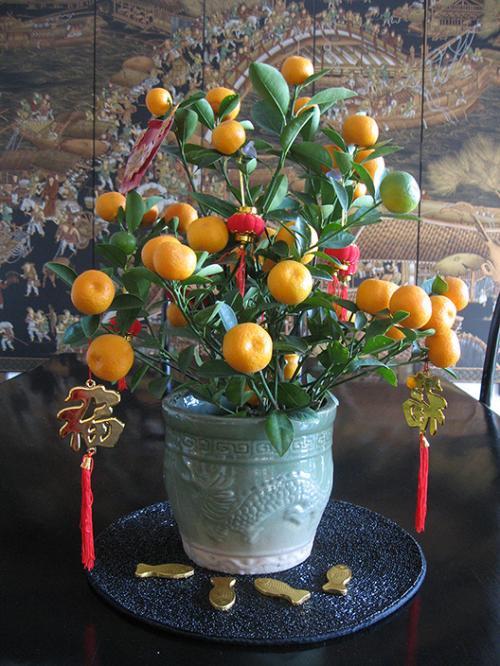 Pohon Kamquat