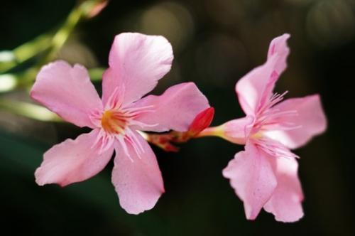 Bunga oleander yang berbahaya. (Foto: Wirestock/Freepik)