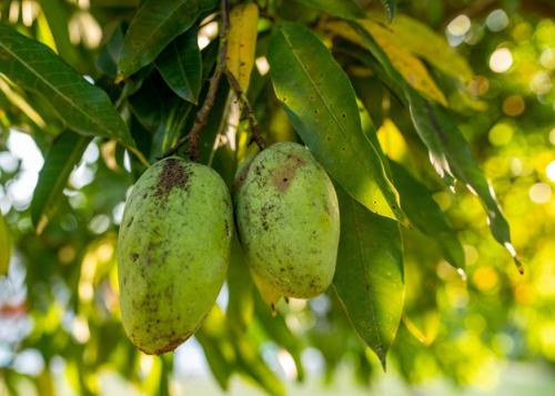 Buah mangga. (Foto: Wirestock/Freepik)