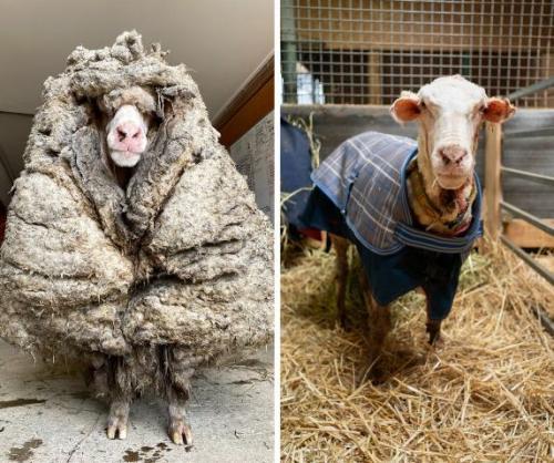 Domba Baarack memiliki bulu lebat seberat 35 kg. (Facebook Edgars Mission/Oddity Central)