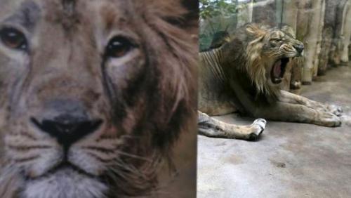 Singa Kena Covid-19