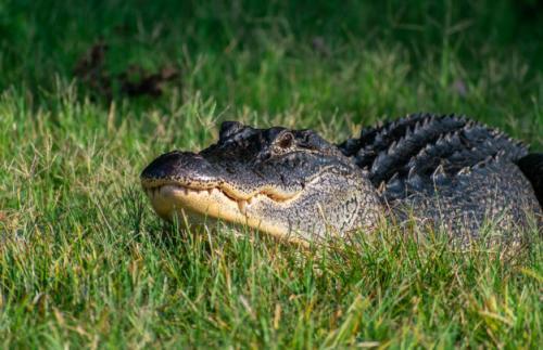 Aligator. (Foto: Wirestock/Freepik)