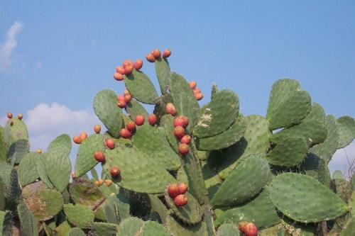 Bunga Kaktus