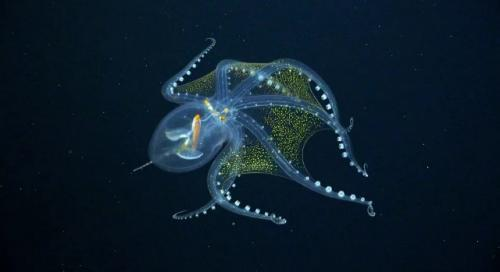 Penampakan gurita kaca langka di laut dalam Samudera Pasifik. (Foto: Mashable)