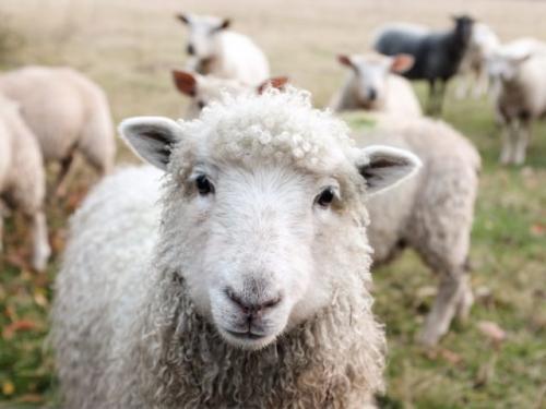 Hewan domba. (Foto: Sam Carter/Unsplash)