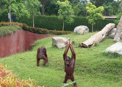 Orangutan di Bali Zoo