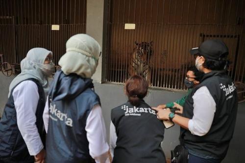 Harimau sumatera di Taman Margasatwa Ragunan sempat terinfeksi covid-19. (Foto: Instagram @aniesbaswedan)